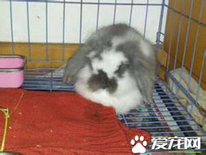 垂耳兔哪里有卖 任何一家宠物店一般都有